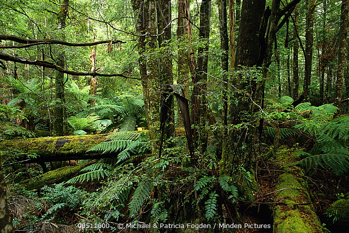 Mountain-ash (Eucalyptus regnans) and Southern Beech (Nothofagus sp) in temperate rainforest, Yarra Ranges National Park, Victoria, Australia  -  Michael & Patricia Fogden