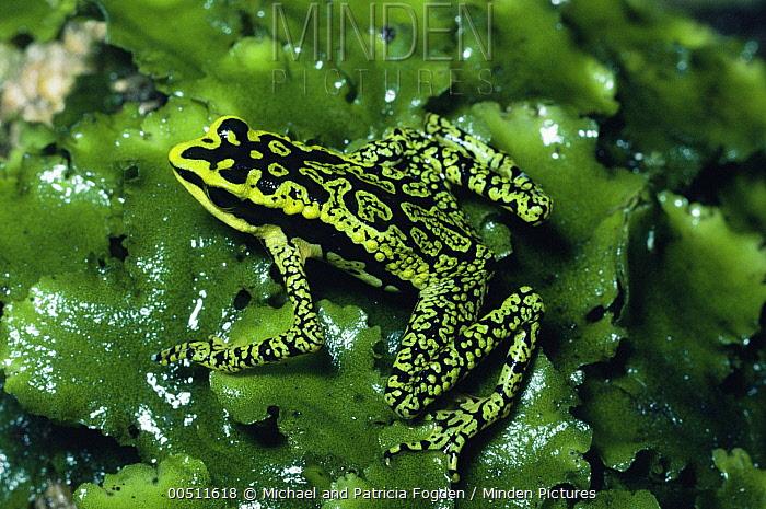 Rancho Grande Harlequin Frog (Atelopus cruciger) displaying warning coloration, Rancho Grande, Venezuela  -  Michael & Patricia Fogden