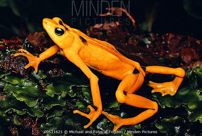 Panamanian Golden Frog (Atelopus zeteki) displaying warning coloration, Panama  -  Michael & Patricia Fogden