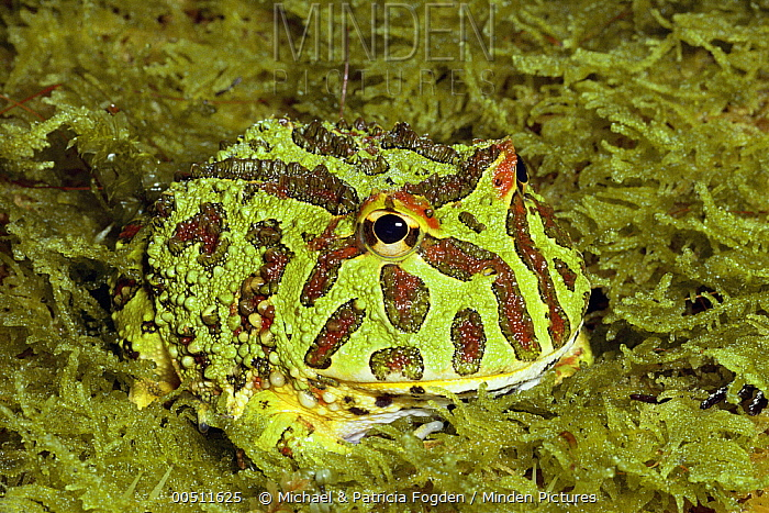 Ornate Horned Frog (Ceratophrys ornata) in moss, South America  -  Michael & Patricia Fogden