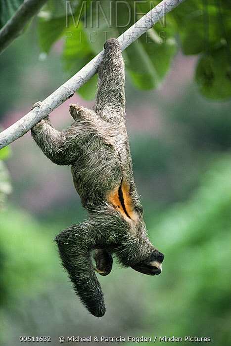 Three-toed Sloth (Bradypus infuscatus) male sunbathing while hanging from a branch, Panama  -  Michael & Patricia Fogden