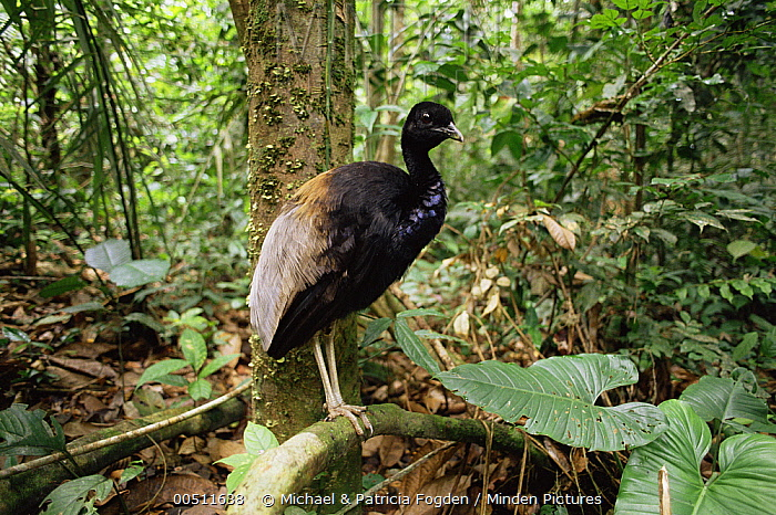 Gray-winged Trumpeter (Psophia crepitans) in rainforest understory, Ecuador  -  Michael & Patricia Fogden