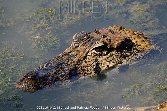 Black Caiman (Melanosuchus niger) surfacing, Peru  -  Michael & Patricia Fogden