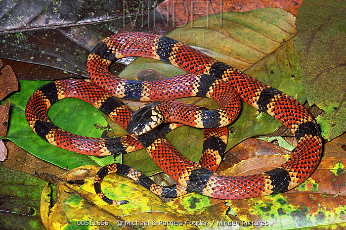 Clark's Coral Snake (Micrurus clarki) venomous species showing warning coloration, Costa Rica  -  Michael & Patricia Fogden
