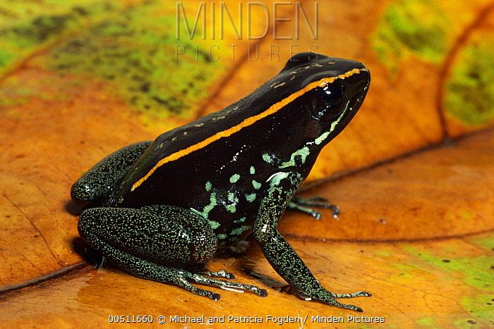Golfodulcean Poison Frog (Phyllobates vittatus) portrait, on leaf, Costa Rica  -  Michael & Patricia Fogden