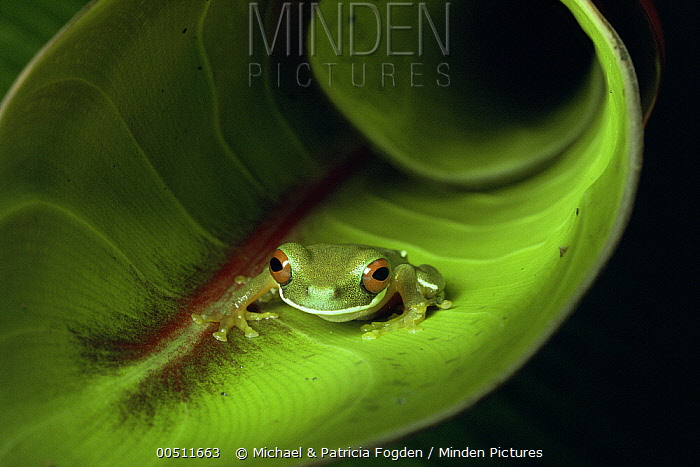 Rufous-eyed Tree Frog (Hyla rufioculis) on curled Heliconia leaf, Costa Rica  -  Michael & Patricia Fogden