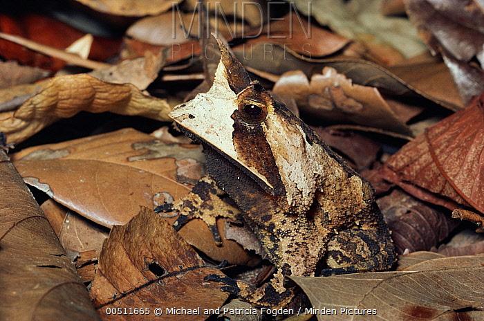 Horned Frog (Proceratophrys sp) camouflaged amid leaf litter on forest floor, Brazil  -  Michael & Patricia Fogden