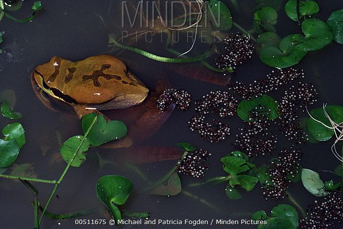 Tarraco Treefrog (Smilisca phaeota) pair spawning, Costa Rica  -  Michael & Patricia Fogden