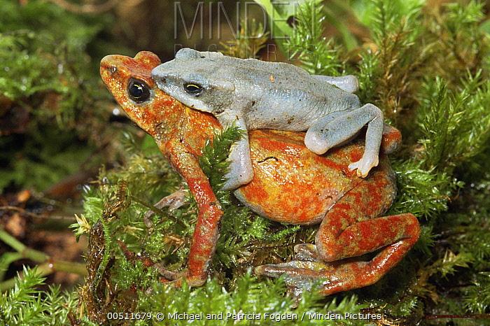 Harlequin Frog (Atelopus varius) pair in amplexus, Costa Rica  -  Michael & Patricia Fogden