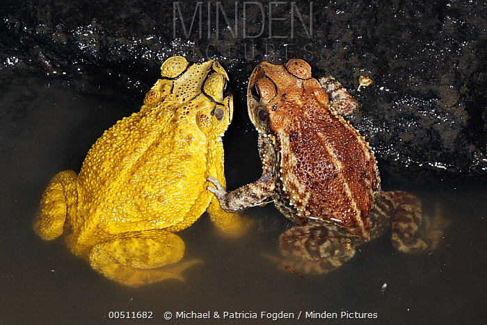 Yellow Toad (Bufo luetkenii) different morphs of the same species, Costa Rica  -  Michael & Patricia Fogden