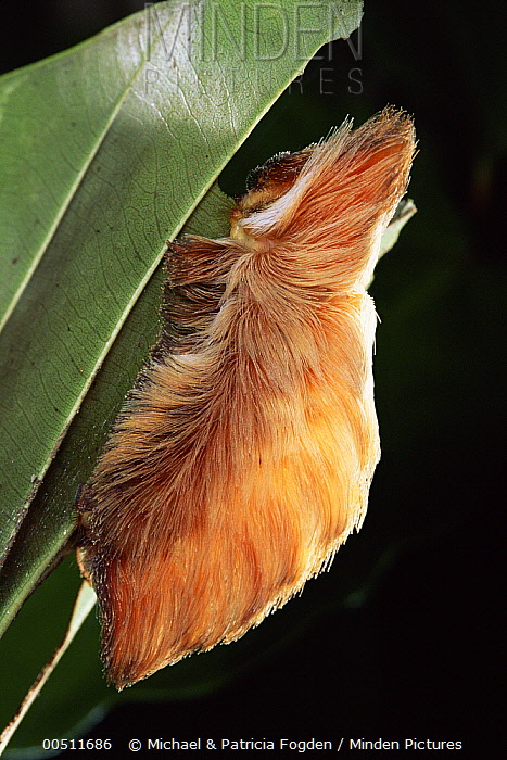 Flannel Moth (Megalopygidae) caterpillar, has urticating hairs that cause irritation if disturbed, Costa Rica  -  Michael & Patricia Fogden