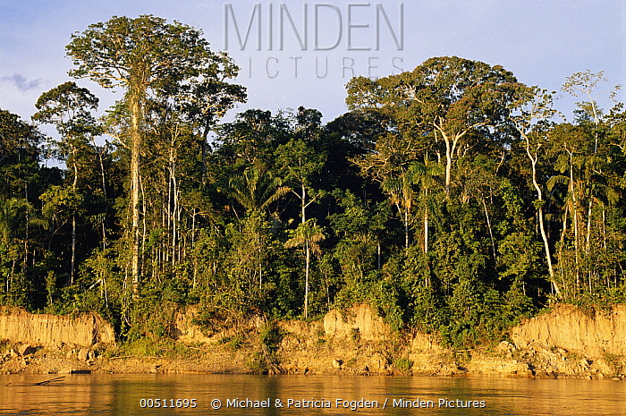 Rainforest profile showing understory up to the canopy, on bank of Manu River, Peru  -  Michael & Patricia Fogden