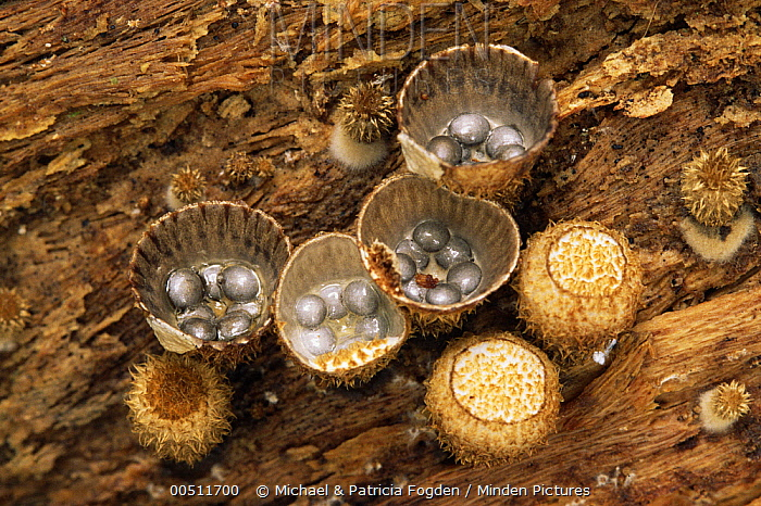 Bird's Nest Fungus (Cyathus sp) showing spores that are dispersed by rain drops, Peru  -  Michael & Patricia Fogden