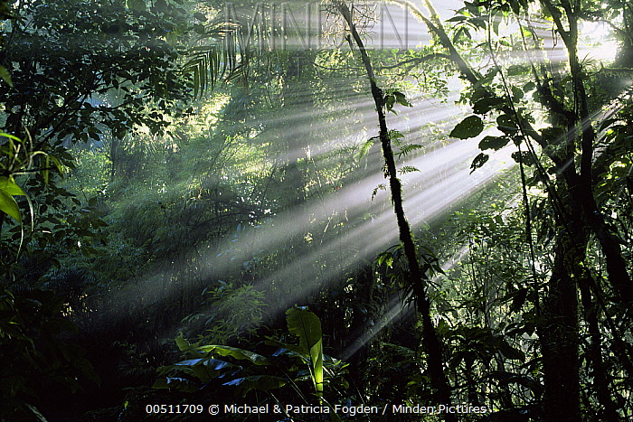 Interior cloud forest, shafts of sunlight shining through canopy break allowing growth of understory plants, Costa Rica  -  Michael & Patricia Fogden