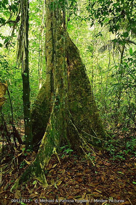 Tree with buttress roots in tropical rainforest, Peru  -  Michael & Patricia Fogden