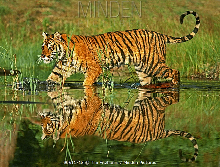 Siberian Tiger (Panthera tigris altaica) sub-adult walking through water, native to Russia  -  Tim Fitzharris
