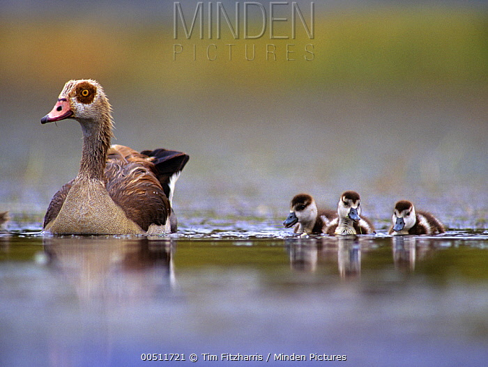 Egyptian Goose (Alopochen aegyptiacus) mother and goslings, Kenya  -  Tim Fitzharris