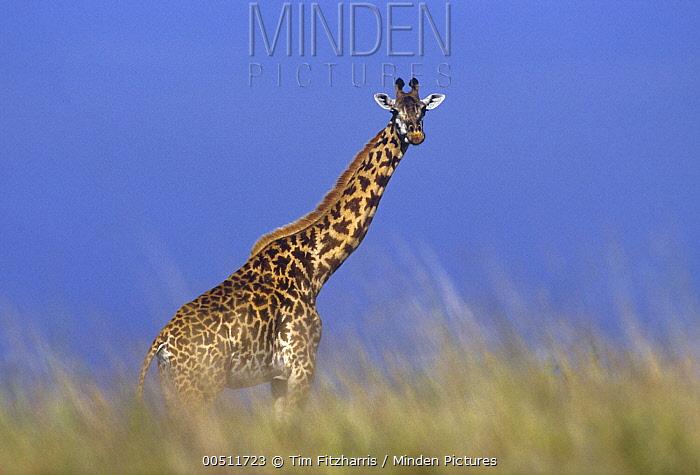 Masai Giraffe (Giraffa tippelskirchi) in savanna, Kenya  -  Tim Fitzharris
