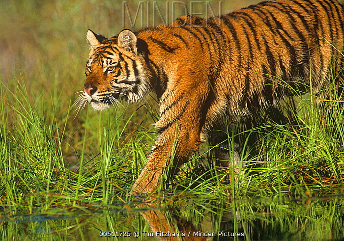 Siberian Tiger (Panthera tigris altaica) sub-adult walking through water, native to Russia  -  Tim Fitzharris