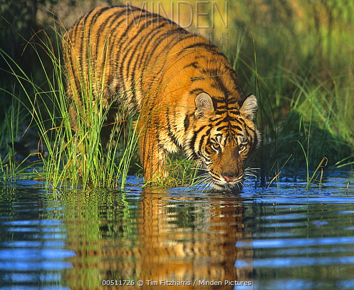 Siberian Tiger (Panthera tigris altaica) sub-adult drinking, native to Russia  -  Tim Fitzharris