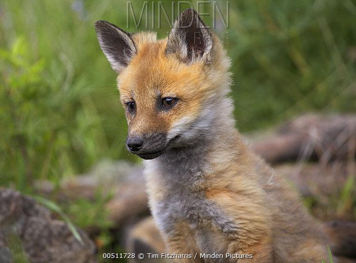 Red Fox (Vulpes vulpes) pup, Montana  -  Tim Fitzharris