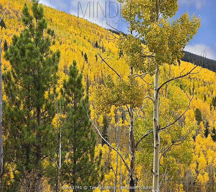 Quaking Aspen (Populus tremuloides) forest in autumn, Santa Fe National Forest, Sangre de Cristo Mountains, New Mexico  -  Tim Fitzharris