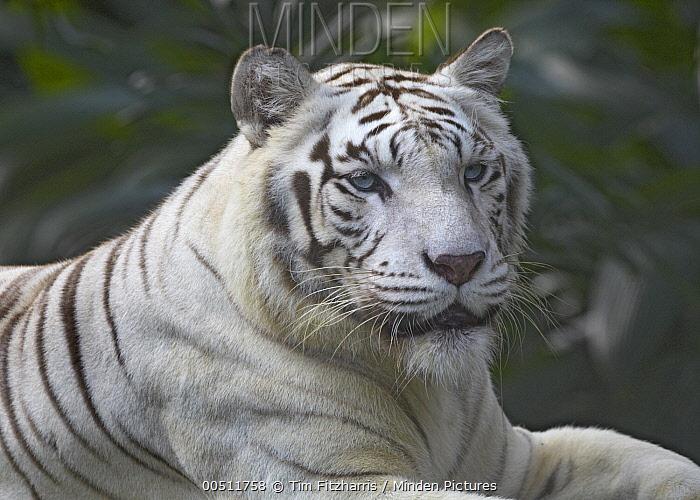 Bengal Tiger (Panthera tigris tigris) white morph  -  Tim Fitzharris