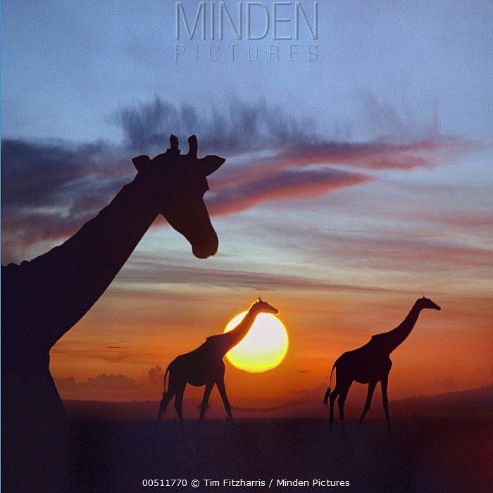 Masai Giraffe (Giraffa tippelskirchi) trio at sunrise, Masai Mara, Kenya, composite image  -  Tim Fitzharris