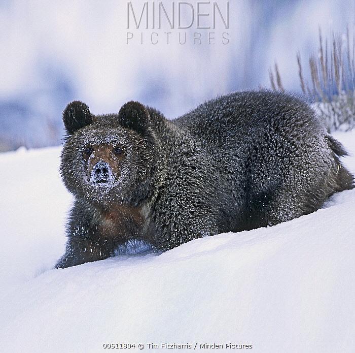 Grizzly Bear (Ursus arctos horribilis) cub in snow, Idaho  -  Tim Fitzharris