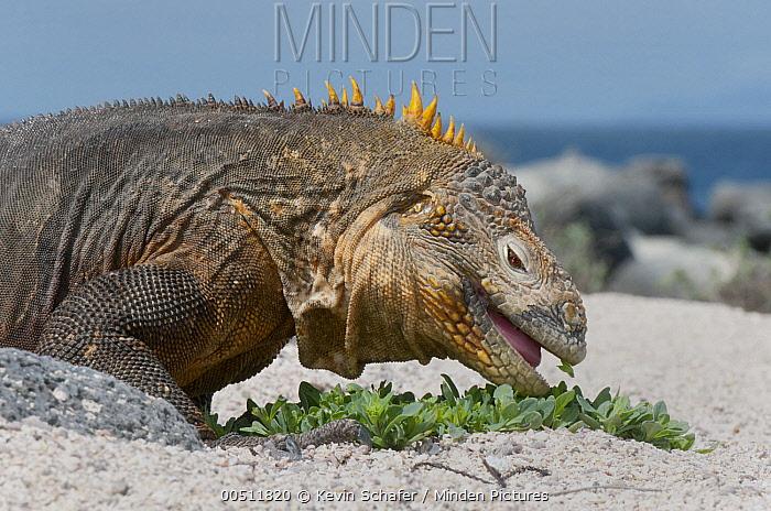 Galapagos Land Iguana (Conolophus subcristatus) feeding on beach plant, North Seymour Island, Galapagos Islands, Ecuado r  -  Kevin Schafer