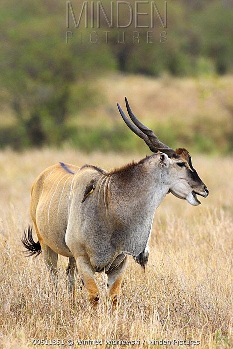 Eland (Taurotragus oryx) sub-adult male, Masai Mara, Kenya  -  Winfried Wisniewski