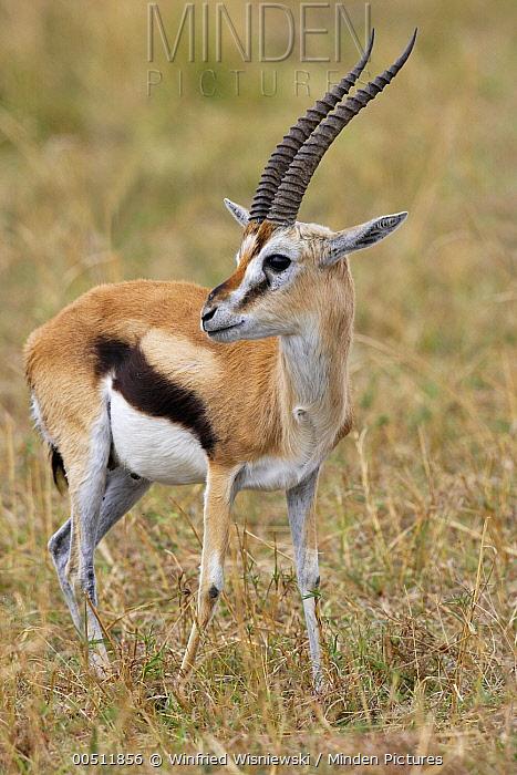 Thomson's Gazelle (Eudorcas thomsonii) male, Masai Mara, Kenya  -  Winfried Wisniewski