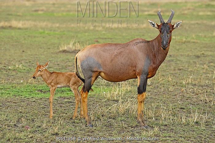 Topi (Damaliscus lunatus) mother with calf, Masai Mara, Kenya  -  Winfried Wisniewski