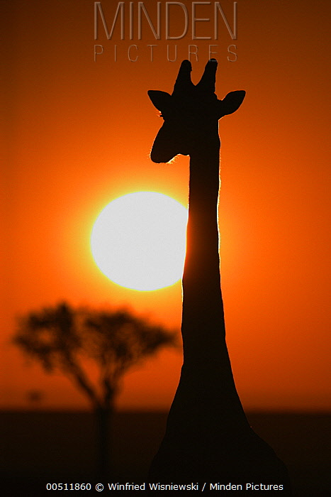 Masai Giraffe (Giraffa tippelskirchi) at sunrise, Masai Mara, Kenya  -  Winfried Wisniewski