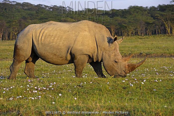 White Rhinoceros (Ceratotherium simum) male grazing, Lake Nakuru National Park, Kenya  -  Winfried Wisniewski