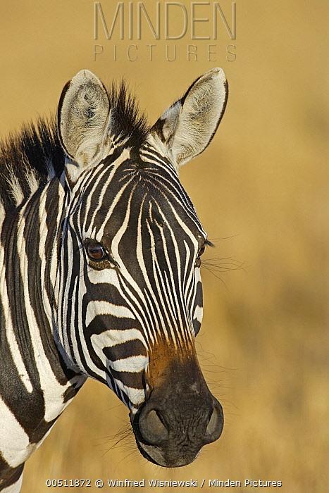 Burchell's Zebra (Equus burchellii), Masai Mara, Kenya  -  Winfried Wisniewski