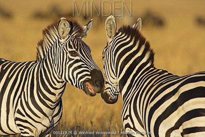 Burchell's Zebra (Equus burchellii) stallions displaying, Masai Mara, Kenya  -  Winfried Wisniewski