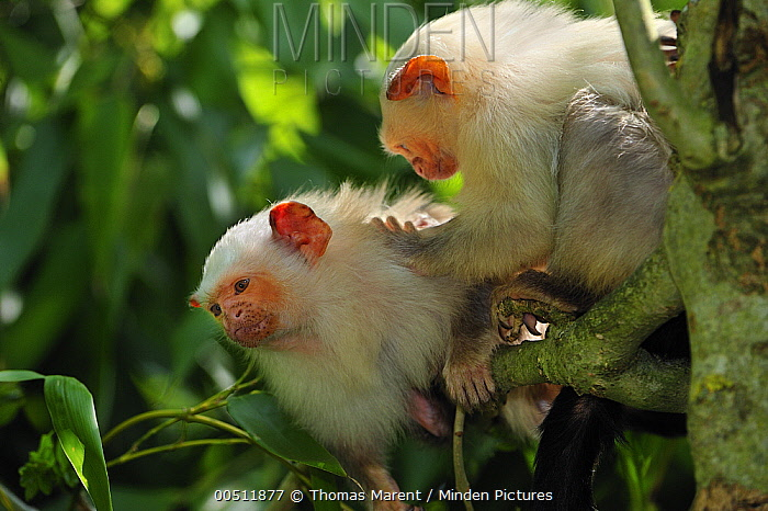 Silvery Marmoset (Callithrix argentata) pair grooming, native to Brazil  -  Thomas Marent