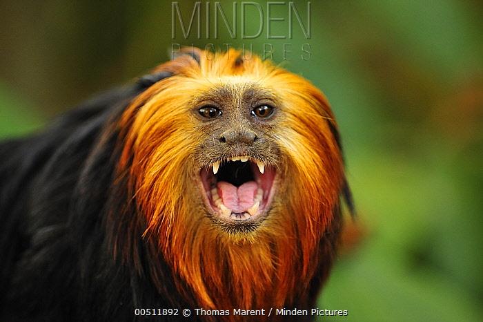 Golden-headed Lion Tamarin (Leontopithecus chrysomelas) displaying, native to Brazil  -  Thomas Marent