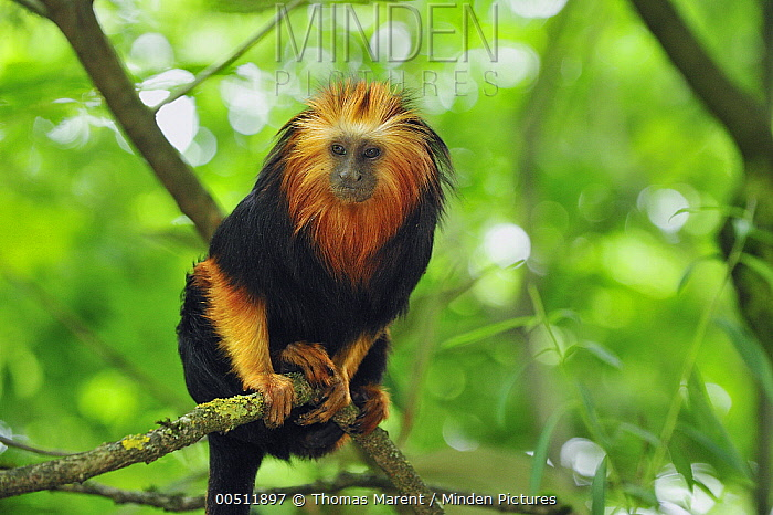 Golden-headed Lion Tamarin (Leontopithecus chrysomelas) in tree, native to Brazil  -  Thomas Marent