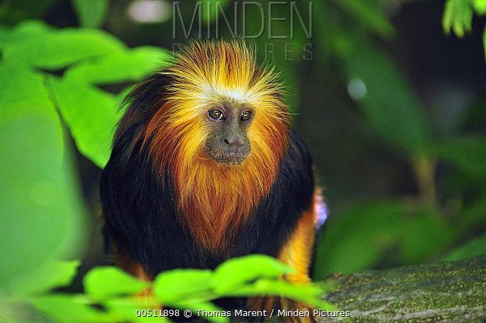 Golden-headed Lion Tamarin (Leontopithecus chrysomelas), native to Brazil  -  Thomas Marent