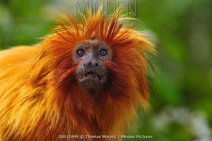 Golden Lion Tamarin (Leontopithecus rosalia), native to Brazil  -  Thomas Marent