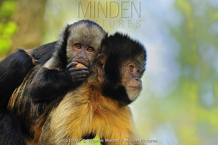 Yellow-breasted Capuchin (Cebus xanthosternos) mother with young feeding, native to Brazil  -  Thomas Marent