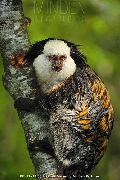 Geoffroy's Marmoset (Callithrix geoffroyi), native to Brazil  -  Thomas Marent