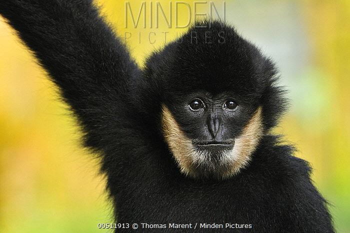 White-handed Gibbon (Hylobates lar) male, native to Vietnam  -  Thomas Marent