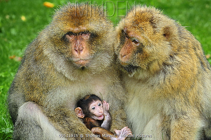 Barbary Macaque (Macaca sylvanus) female with mother and young, native to northern Africa  -  Thomas Marent