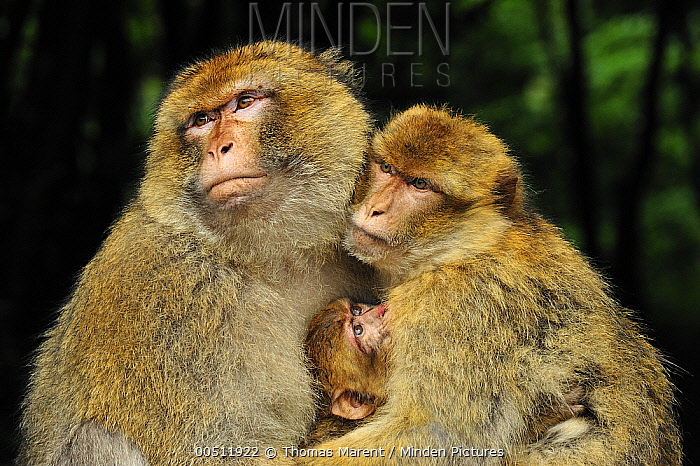 Barbary Macaque (Macaca sylvanus) family, native to northern Africa  -  Thomas Marent