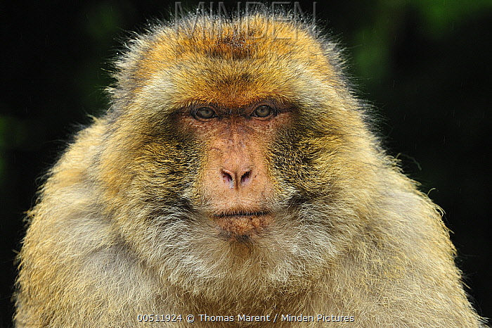 Barbary Macaque (Macaca sylvanus) male, native to northern Africa  -  Thomas Marent