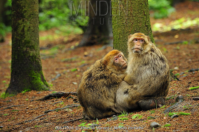 Barbary Macaque (Macaca sylvanus) pair, native to northern Africa  -  Thomas Marent