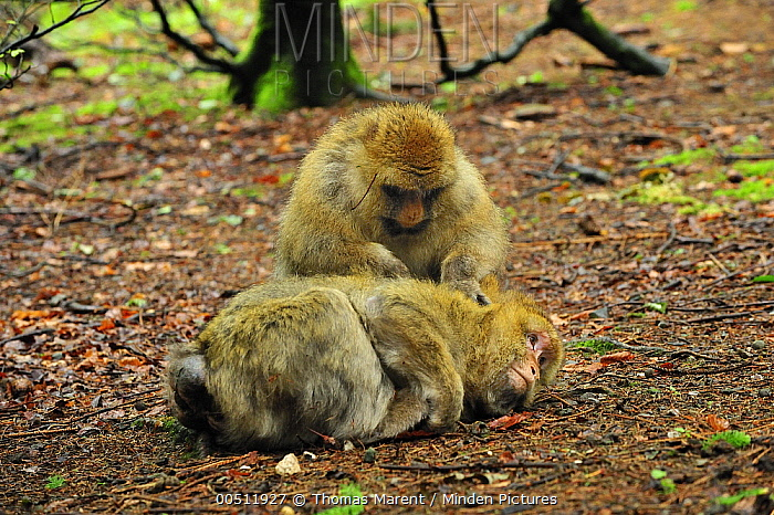 Barbary Macaque (Macaca sylvanus) pair grooming, native to northern Africa  -  Thomas Marent
